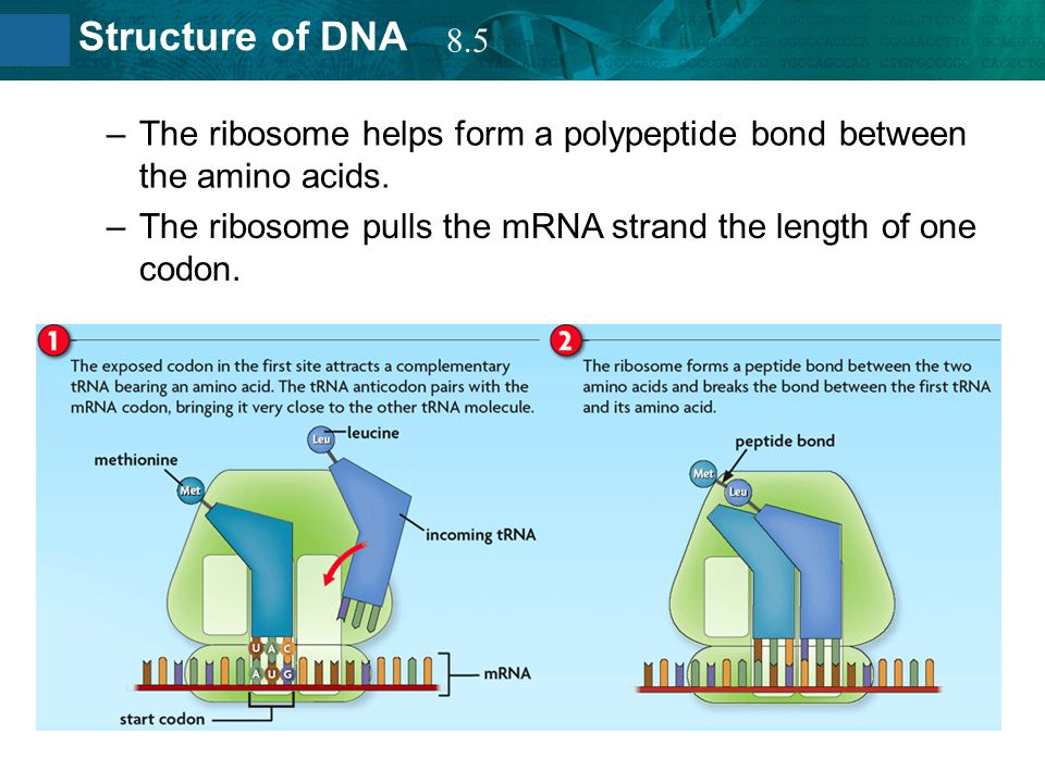 8.2 Structure of DNA –The ribosome helps form a polypeptide bond between the amino acids. –The ribosome pulls the mRNA strand the length of one codon.