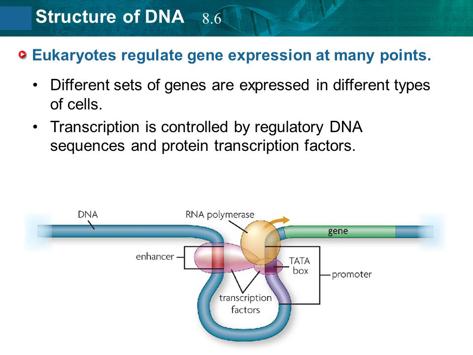 8.2 Structure of DNA Eukaryotes regulate gene expression at many points. Different sets of genes are expressed in different types of cells. Transcript
