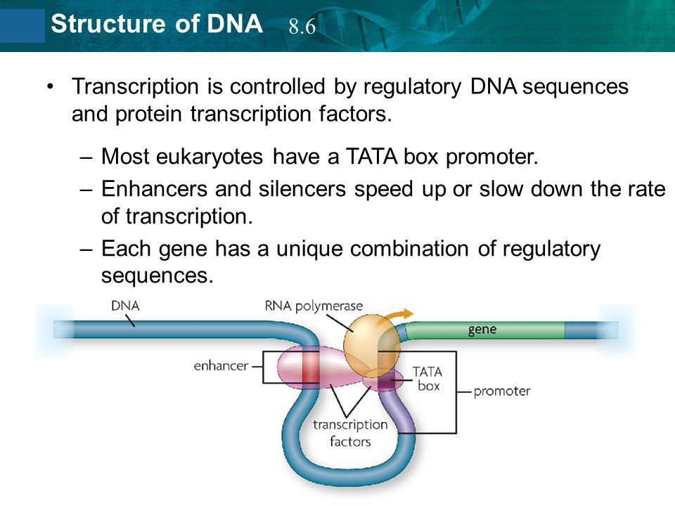 8.2 Structure of DNA Transcription is controlled by regulatory DNA sequences and protein transcription factors. –Most eukaryotes have a TATA box promo
