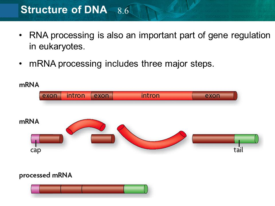8.2 Structure of DNA RNA processing is also an important part of gene regulation in eukaryotes. mRNA processing includes three major steps. 8.6