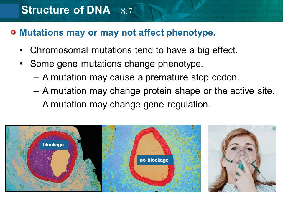 8.2 Structure of DNA Mutations may or may not affect phenotype. Chromosomal mutations tend to have a big effect. Some gene mutations change phenotype.