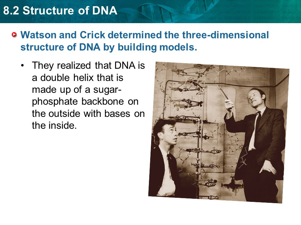 8.2 Structure of DNA Watson and Crick determined the three-dimensional structure of DNA by building models. They realized that DNA is a double helix t