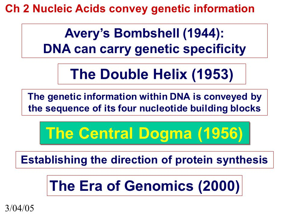 Ch 2 Nucleic Acids convey genetic information Avery's Bombshell (1944): DNA can carry genetic specificity 3/04/05 The Double Helix (1953) The genetic information within DNA is conveyed by the sequence of its four nucleotide building blocks Establishing the direction of protein synthesis The Central Dogma (1956) The Era of Genomics (2000)