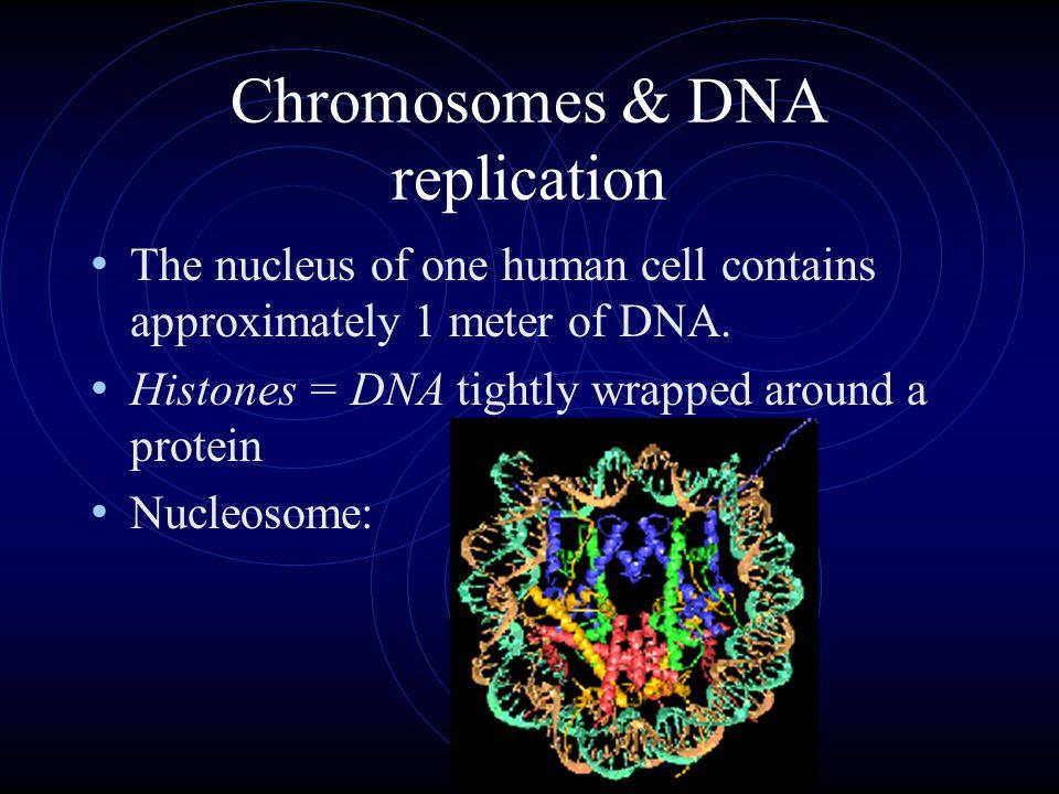 How long is the DNA molecule