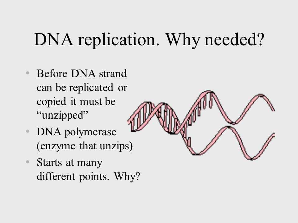 DNA replication Must occur before a cell divides.