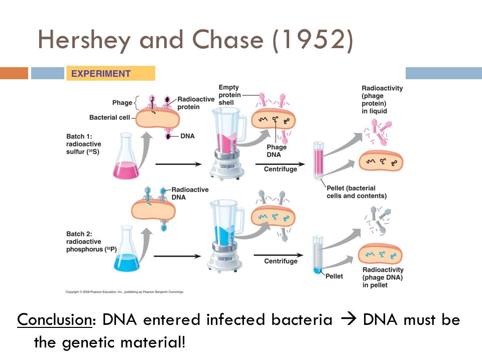 Hershey and Chase (1952) Conclusion: DNA entered infected bacteria  DNA must be the genetic material!