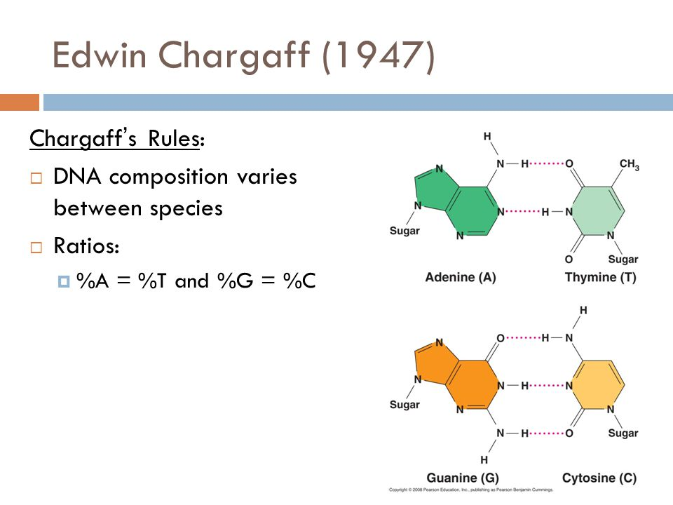 Edwin Chargaff (1947) Chargaff's Rules:  DNA composition varies between species  Ratios:  %A = %T and %G = %C