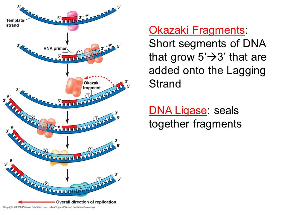 Okazaki Fragments: Short segments of DNA that grow 5'  3' that are added onto the Lagging Strand DNA Ligase: seals together fragments