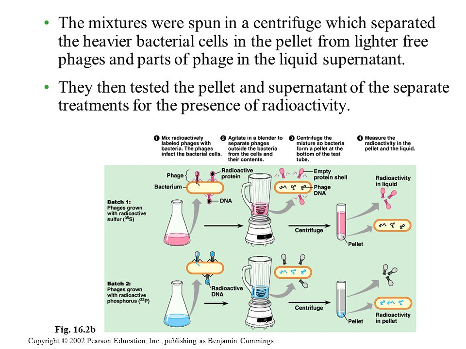 The mixtures were spun in a centrifuge which separated the heavier bacterial cells in the pellet from lighter free phages and parts of phage in the li