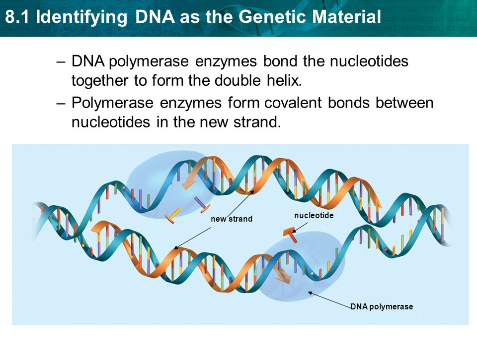 8.1 Identifying DNA as the Genetic Material –Polymerase enzymes form covalent bonds between nucleotides in the new strand.