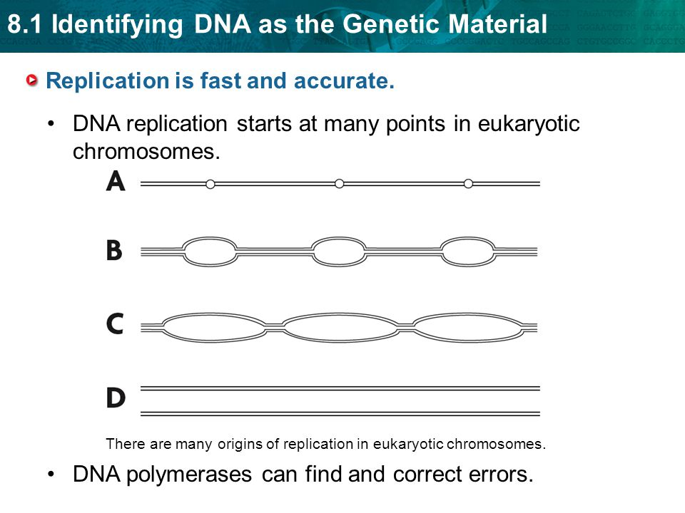 8.1 Identifying DNA as the Genetic Material There are many origins of replication in eukaryotic chromosomes.
