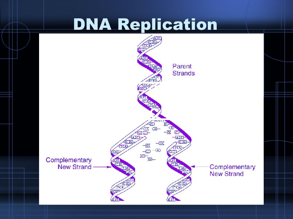 DNA Replication A – C – T – T – G – G – A – C T – G – A – A – C – C – T - G