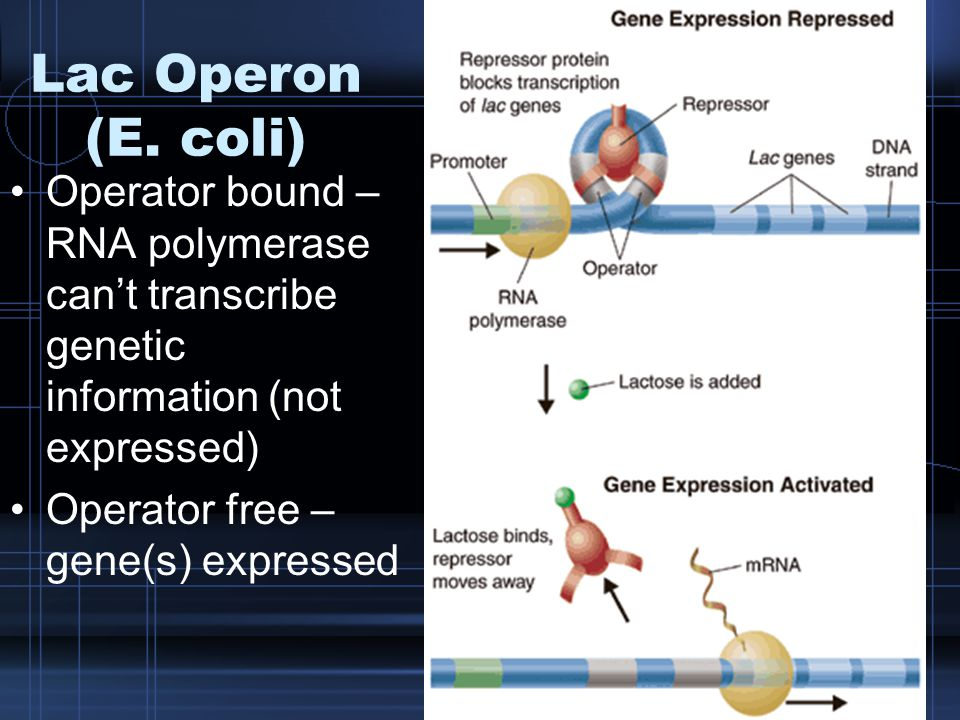 Lac Operon (E. coli) Operator bound – RNA polymerase can't transcribe genetic information (not expressed) Operator free – gene(s) expressed