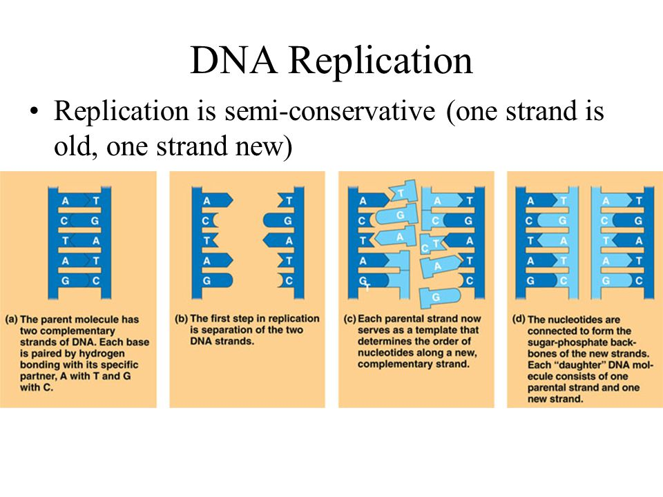 DNA Replication When DNA is copied during S Phase of Interphase Basic Concept = create a new strand by matching complementary nucleotides to an existing strand