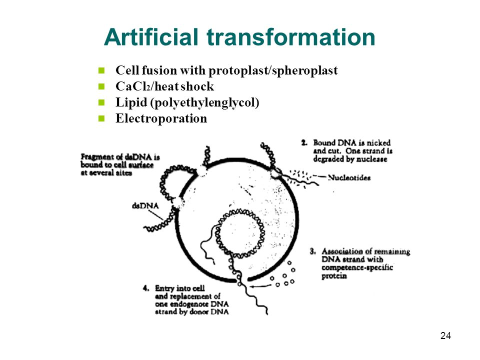 Artificial transformation Cell fusion with protoplast/spheroplast CaCl 2 /heat shock Lipid (polyethylenglycol) Electroporation 24
