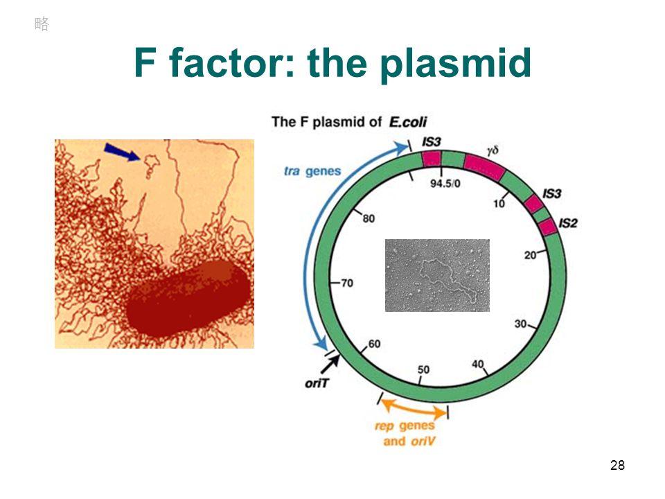 F factor: the plasmid 28 略