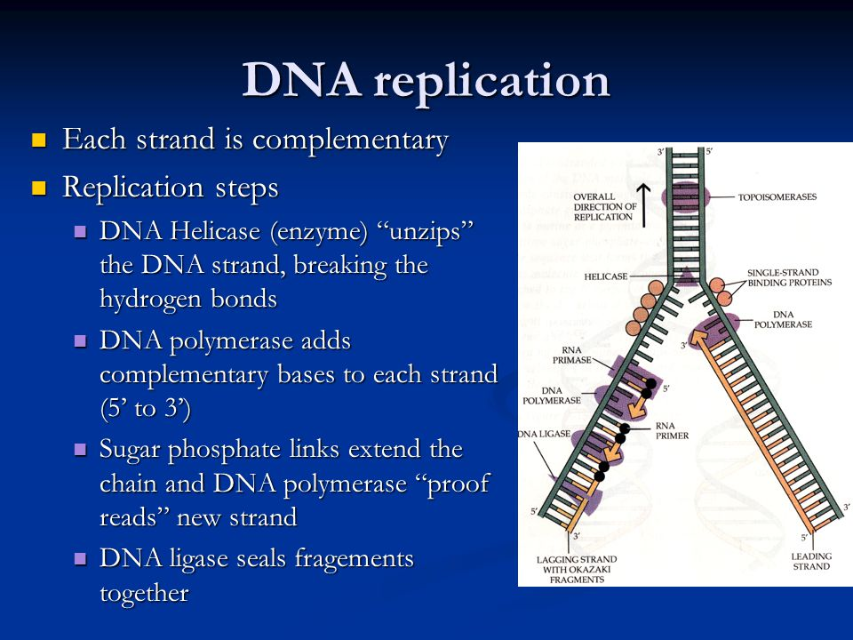 DNA replication Each strand is complementary Each strand is complementary Replication steps Replication steps DNA Helicase (enzyme) unzips the DNA strand, breaking the hydrogen bonds DNA Helicase (enzyme) unzips the DNA strand, breaking the hydrogen bonds DNA polymerase adds complementary bases to each strand (5' to 3') DNA polymerase adds complementary bases to each strand (5' to 3') Sugar phosphate links extend the chain and DNA polymerase proof reads new strand Sugar phosphate links extend the chain and DNA polymerase proof reads new strand DNA ligase seals fragements together DNA ligase seals fragements together
