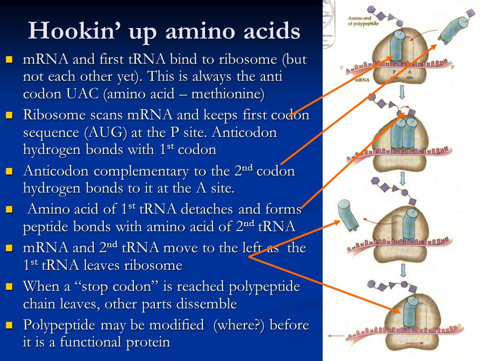 Hookin' up amino acids mRNA and first tRNA bind to ribosome (but not each other yet).