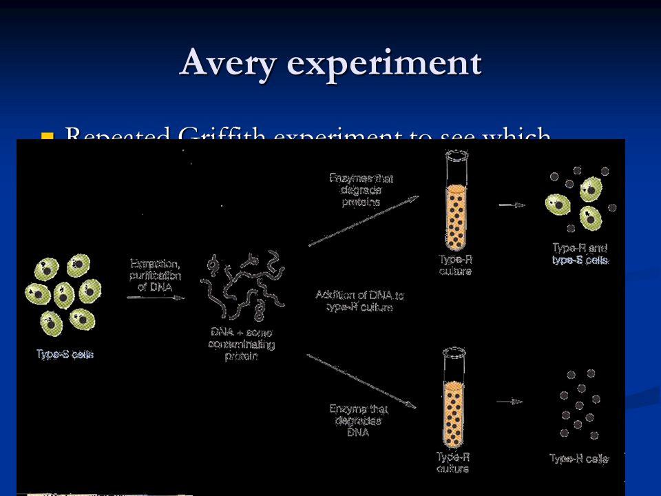Avery experiment Repeated Griffith experiment to see which molecule actually transformed into the harmless strain Repeated Griffith experiment to see which molecule actually transformed into the harmless strain Treated extract of heat killed smooth colonies with enzymes that broke down everything except for DNA.