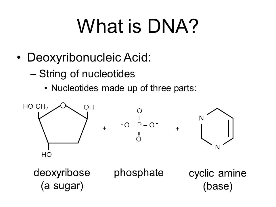 What is DNA? Deoxyribonucleic Acid: –String of nucleotides Nucleotides made up of three parts: deoxyribose (a sugar) OH HO-CH 2 + P – – = – O O O O -