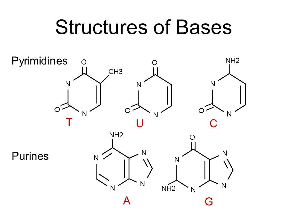 Structures of Bases N N Pyrimidines N N N N Purines N N N N CH3 O O O O O O NH2 N N N N A G T UC