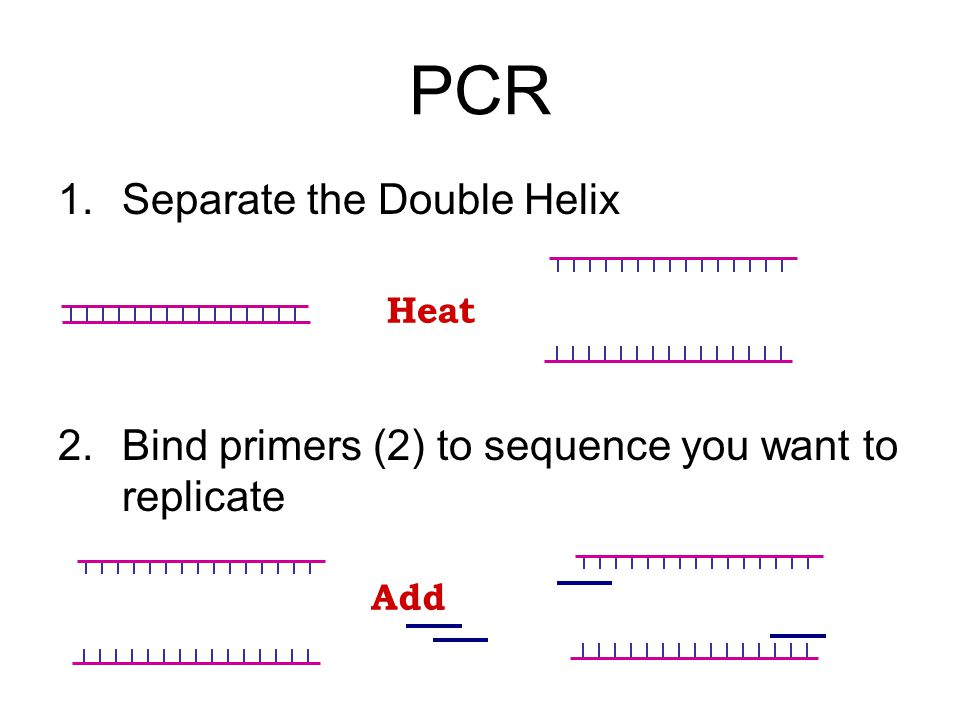 PCR 1.Separate the Double Helix 2.Bind primers (2) to sequence you want to replicate Heat Add