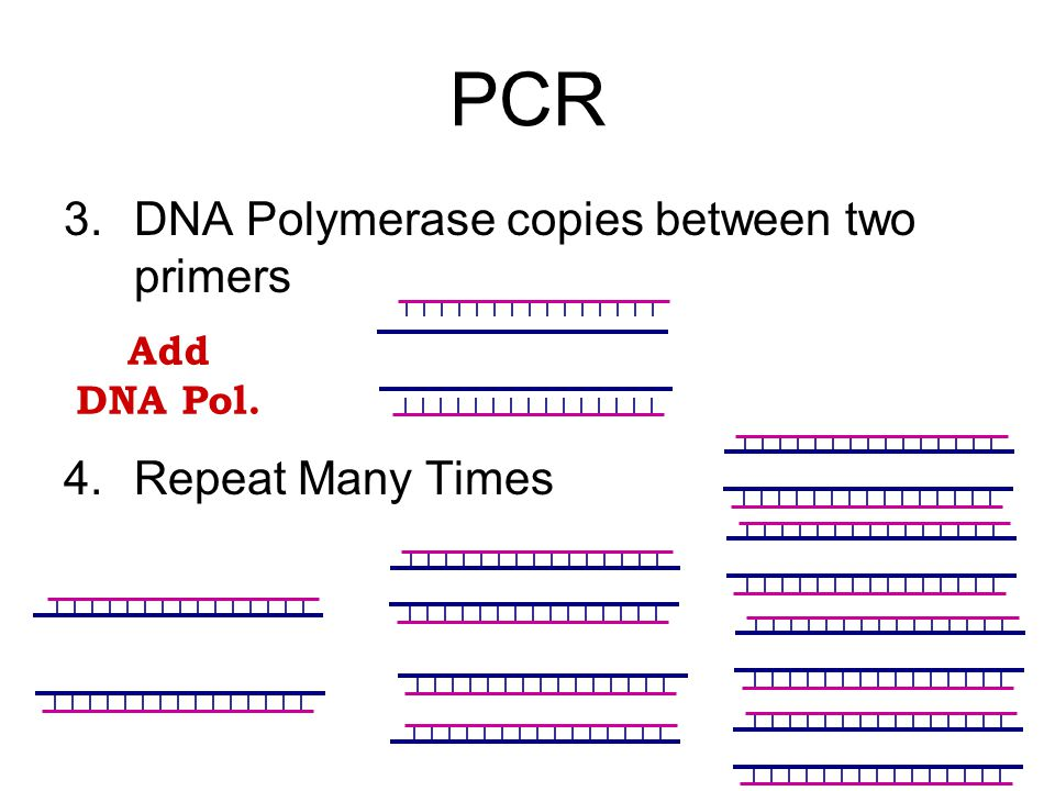 PCR 3.DNA Polymerase copies between two primers 4.Repeat Many Times Add DNA Pol.