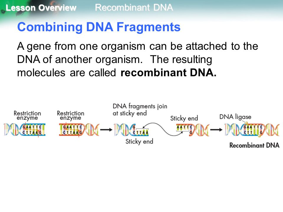 Lesson Overview Lesson Overview Recombinant DNA Cloning Animal cloning uses a procedure called nuclear transplantation.