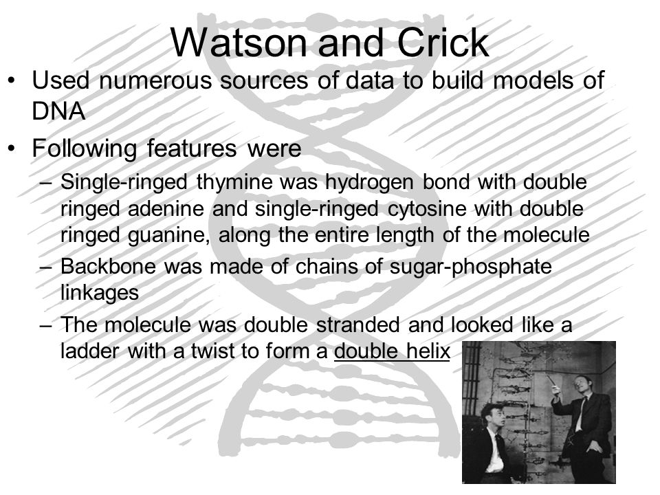 Watson and Crick Used numerous sources of data to build models of DNA Following features were –Single-ringed thymine was hydrogen bond with double rin