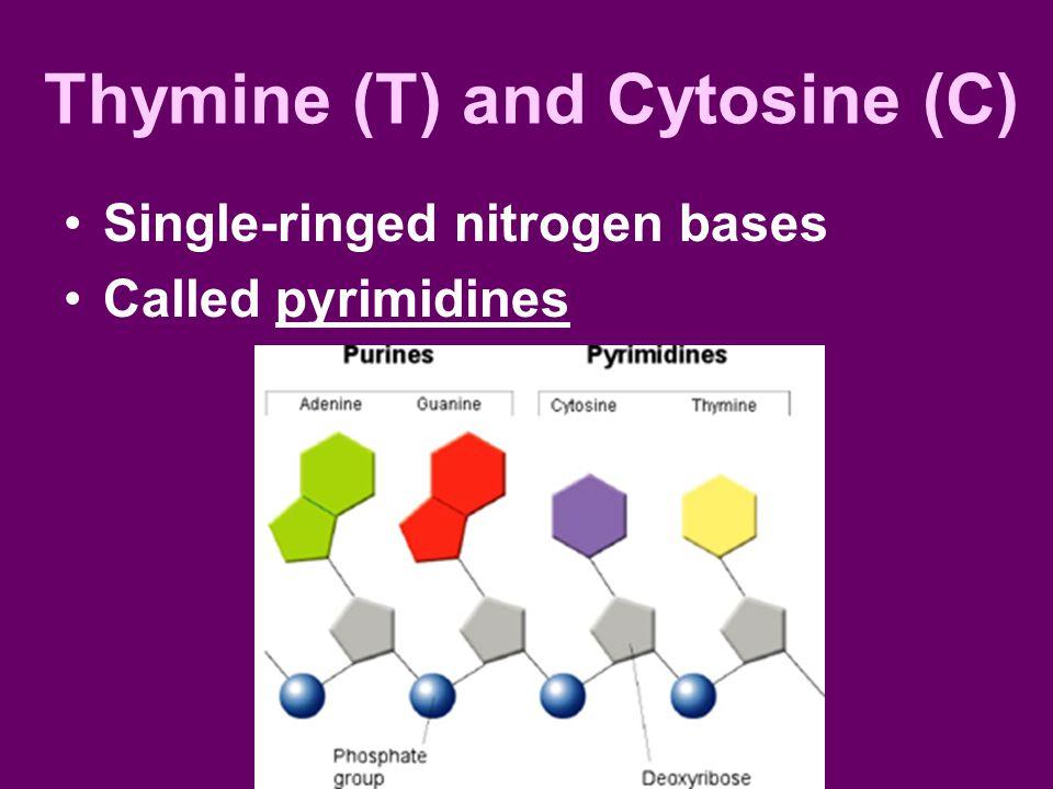 Thymine (T) and Cytosine (C) Single-ringed nitrogen bases Called pyrimidines
