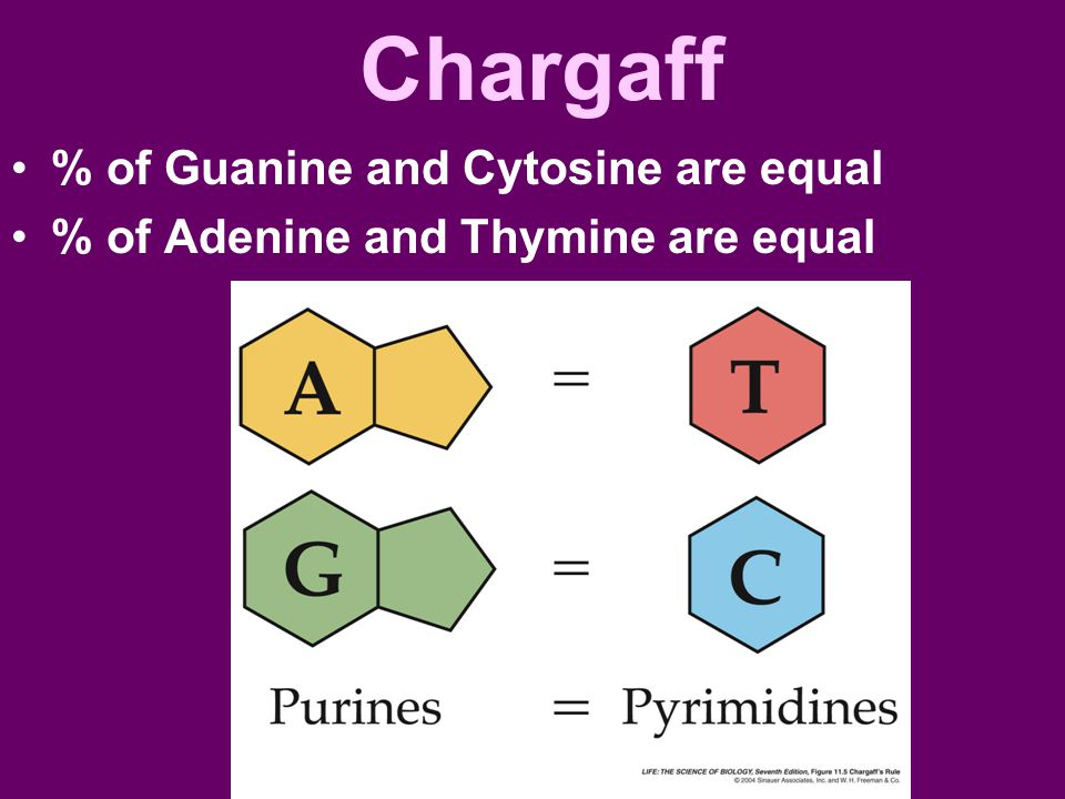 Chargaff % of Guanine and Cytosine are equal % of Adenine and Thymine are equal