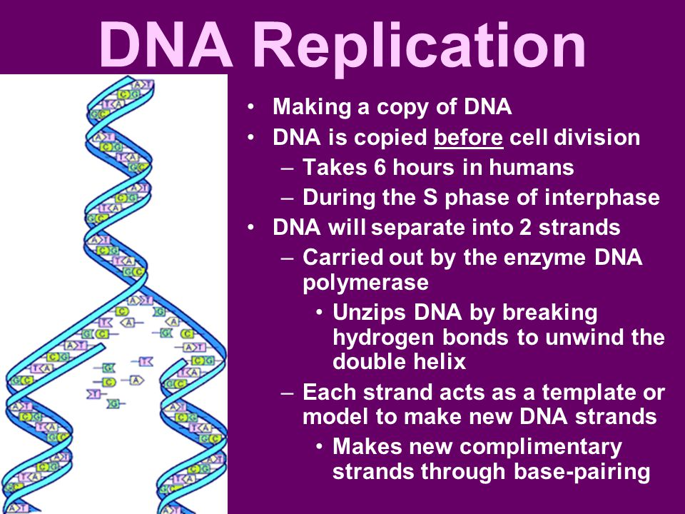 DNA Replication Making a copy of DNA DNA is copied before cell division –Takes 6 hours in humans –During the S phase of interphase DNA will separate into 2 strands –Carried out by the enzyme DNA polymerase Unzips DNA by breaking hydrogen bonds to unwind the double helix –Each strand acts as a template or model to make new DNA strands Makes new complimentary strands through base-pairing