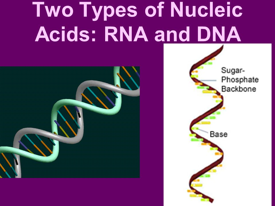 Two Types of Nucleic Acids: RNA and DNA