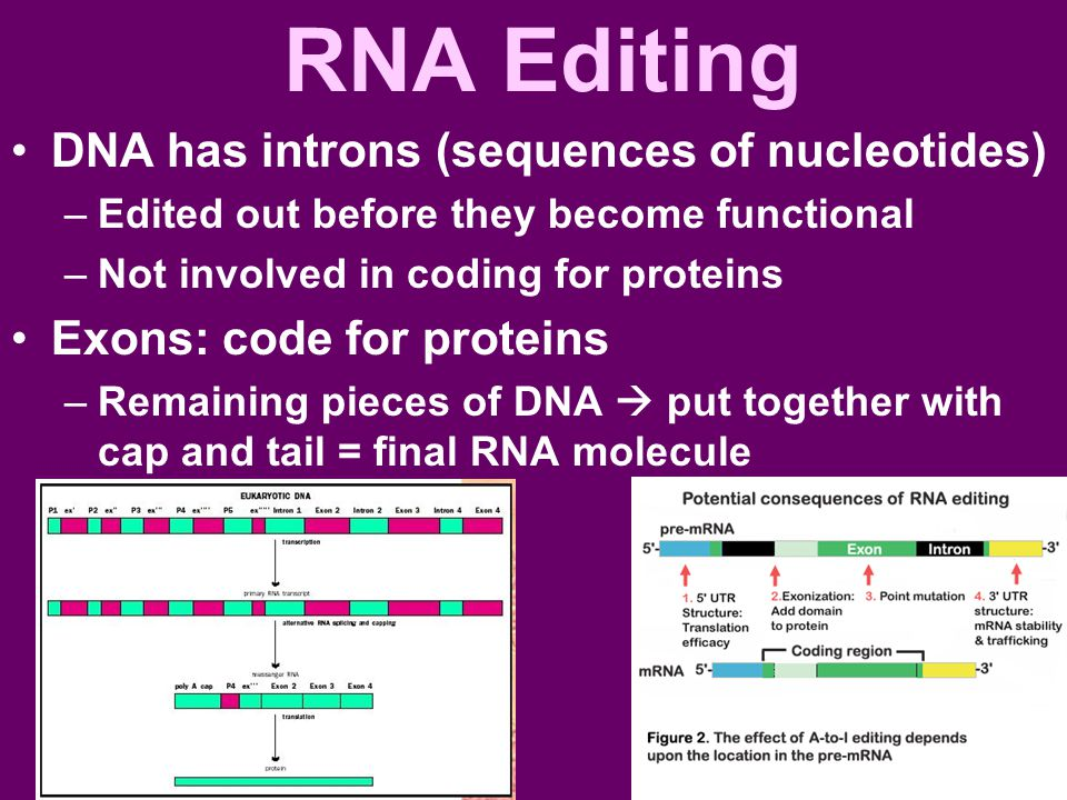 RNA Editing DNA has introns (sequences of nucleotides) –Edited out before they become functional –Not involved in coding for proteins Exons: code for proteins –Remaining pieces of DNA  put together with cap and tail = final RNA molecule
