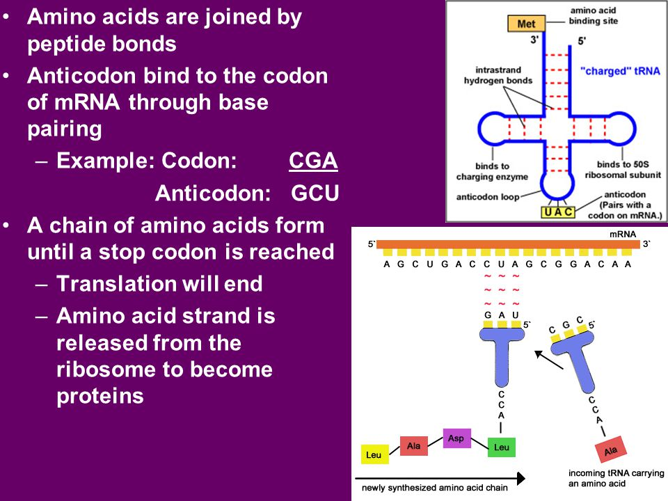 Amino acids are joined by peptide bonds Anticodon bind to the codon of mRNA through base pairing –Example: Codon: CGA Anticodon: GCU A chain of amino