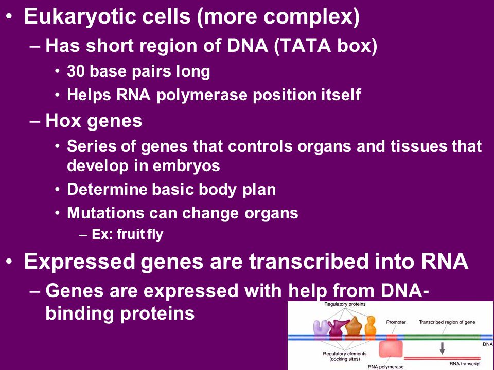 Eukaryotic cells (more complex) –Has short region of DNA (TATA box) 30 base pairs long Helps RNA polymerase position itself –Hox genes Series of genes that controls organs and tissues that develop in embryos Determine basic body plan Mutations can change organs –Ex: fruit fly Expressed genes are transcribed into RNA –Genes are expressed with help from DNA- binding proteins