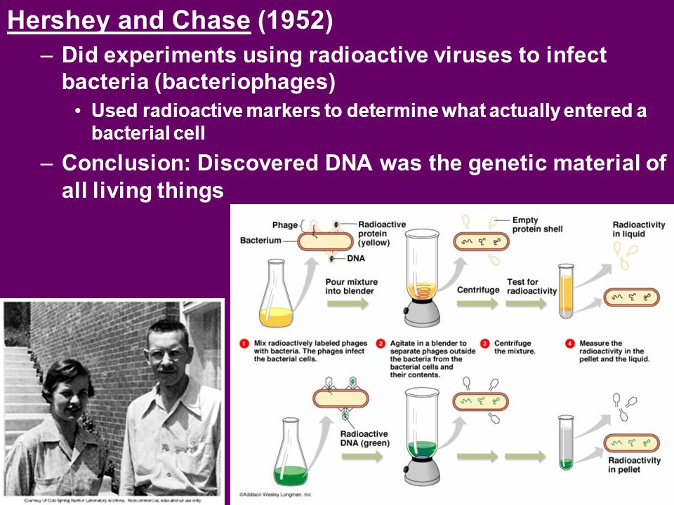 Hershey and Chase (1952) –Did experiments using radioactive viruses to infect bacteria (bacteriophages) Used radioactive markers to determine what act