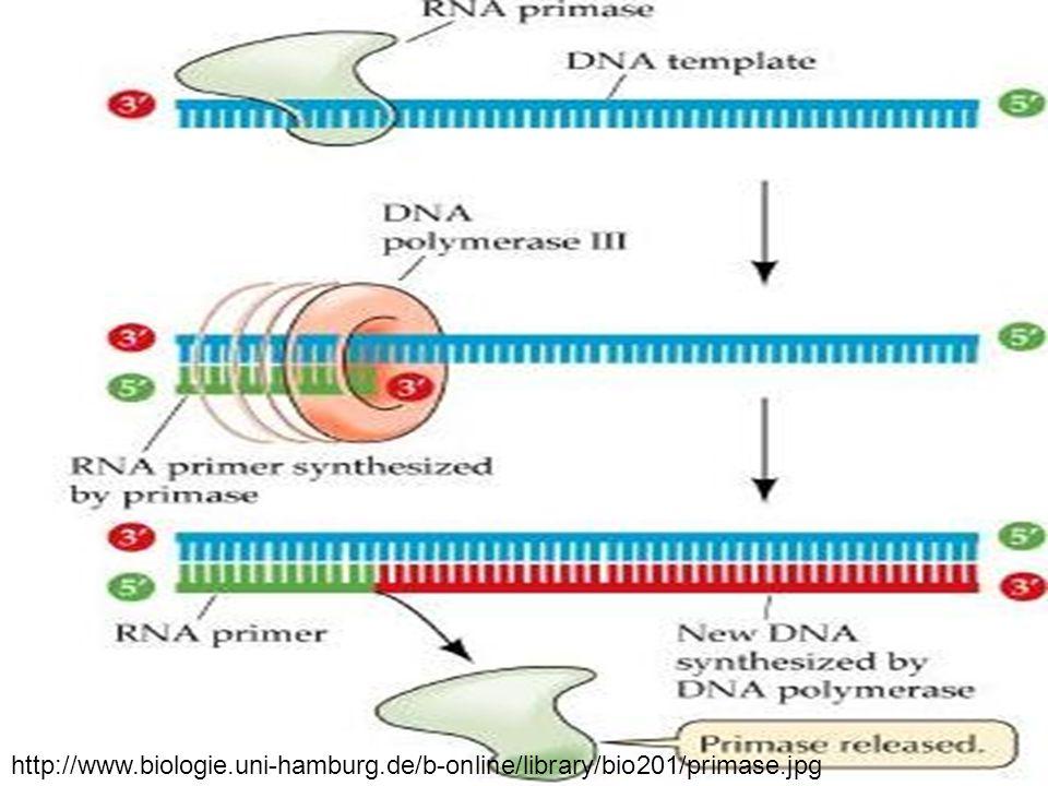 http://www.biologie.uni-hamburg.de/b-online/library/bio201/primase.jpg