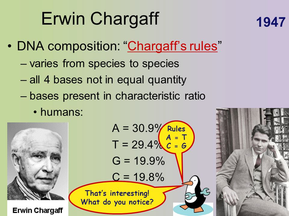 "Erwin Chargaff DNA composition: ""Chargaff's rules"" –varies from species to species –all 4 bases not in equal quantity –bases present in characteristic"