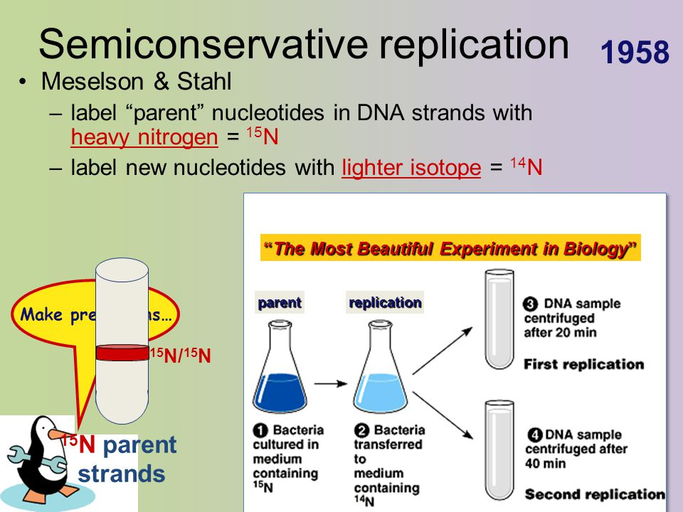 "Semiconservative replication Meselson & Stahl –label ""parent"" nucleotides in DNA strands with heavy nitrogen = 15 N –label new nucleotides with lighte"