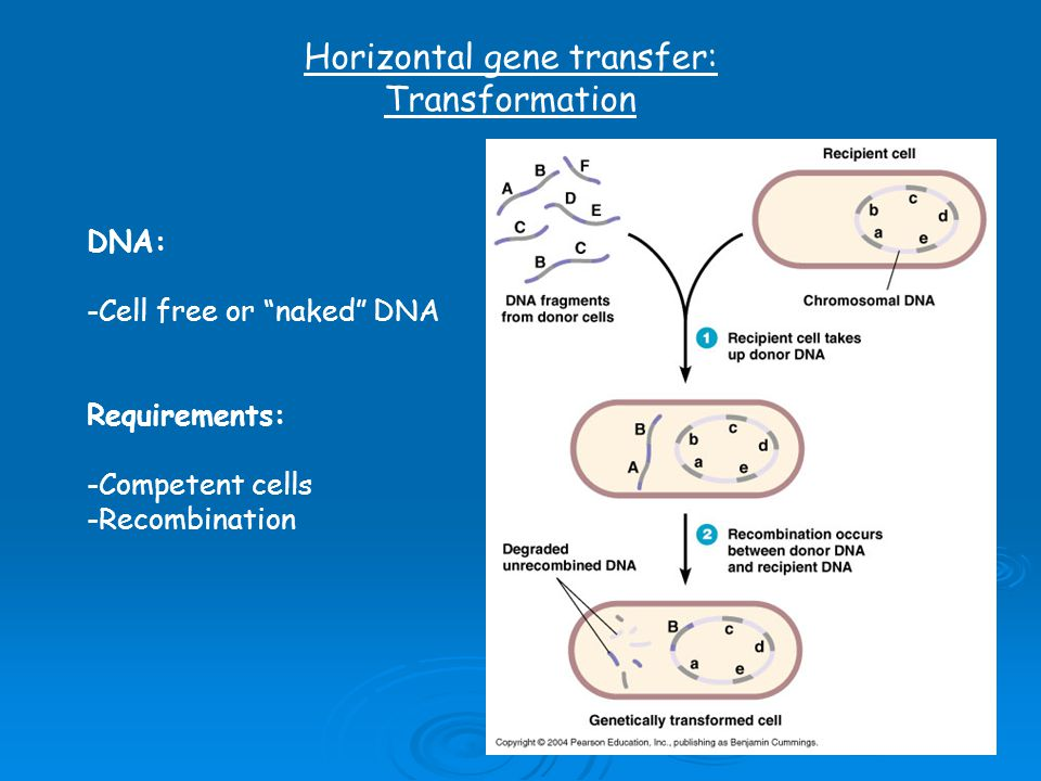Horizontal gene transfer: Transformation DNA: -Cell free or naked DNA Requirements: -Competent cells -Recombination