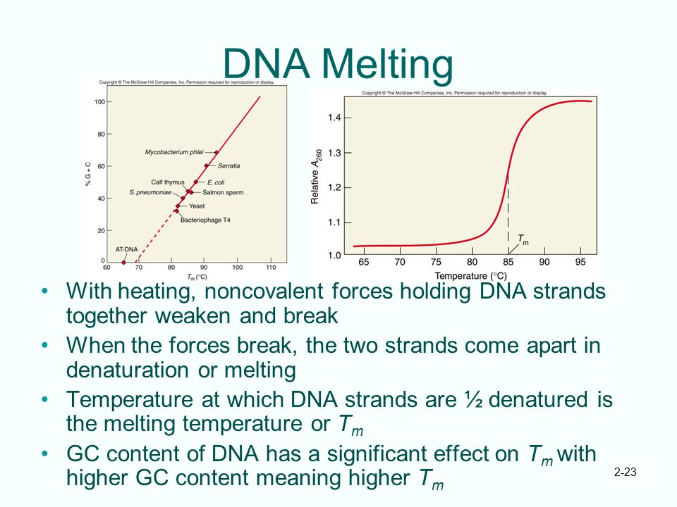 2-23 DNA Melting With heating, noncovalent forces holding DNA strands together weaken and break When the forces break, the two strands come apart in d