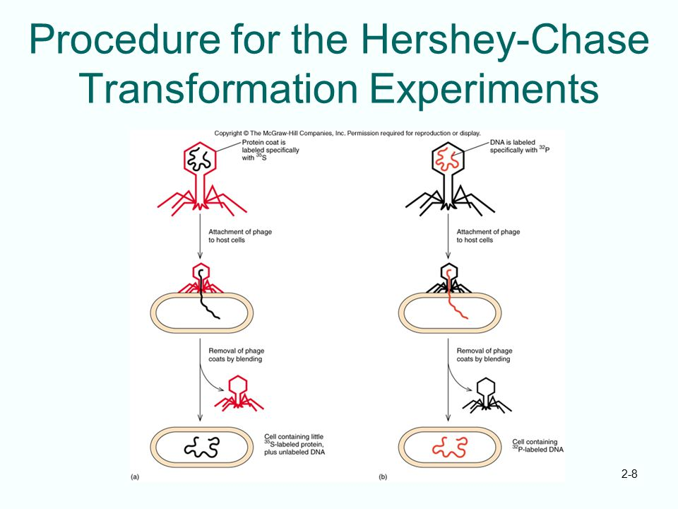 2-8 Procedure for the Hershey-Chase Transformation Experiments
