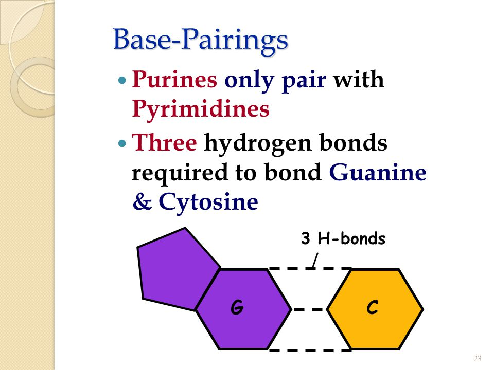 Base-Pairings Purines only pair with Pyrimidines Three hydrogen bonds required to bond Guanine & Cytosine 23 CG 3 H-bonds
