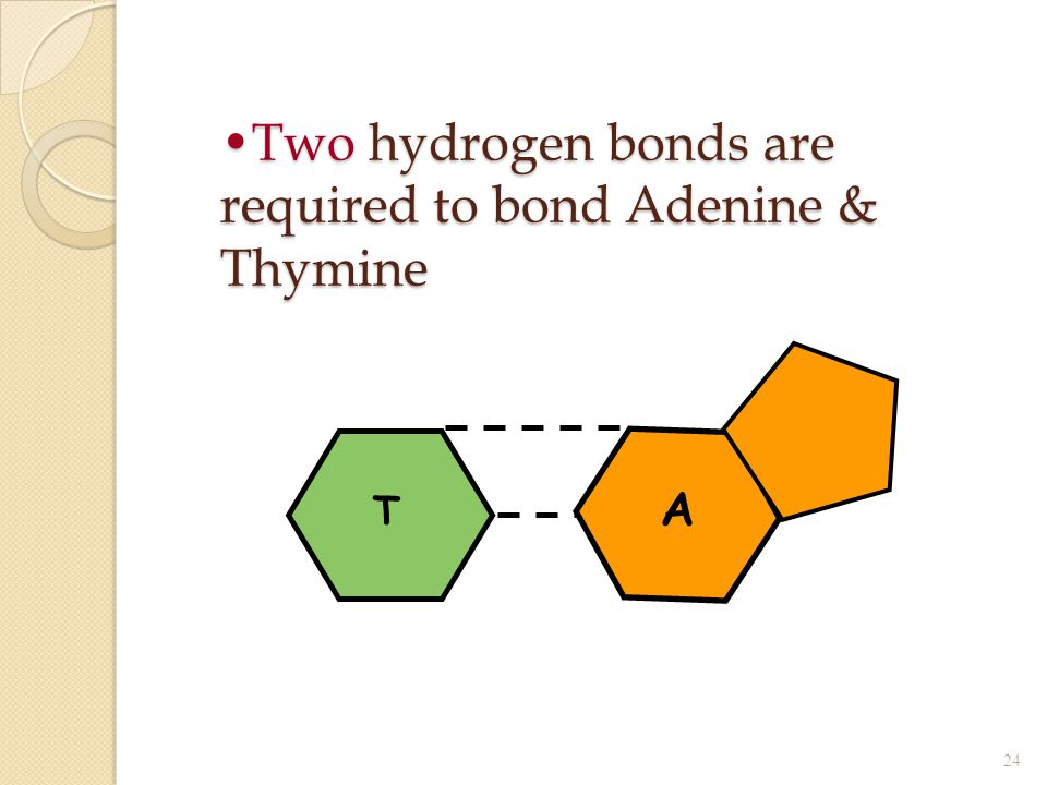 Two hydrogen bonds are required to bond Adenine & ThymineTwo hydrogen bonds are required to bond Adenine & Thymine 24 T A