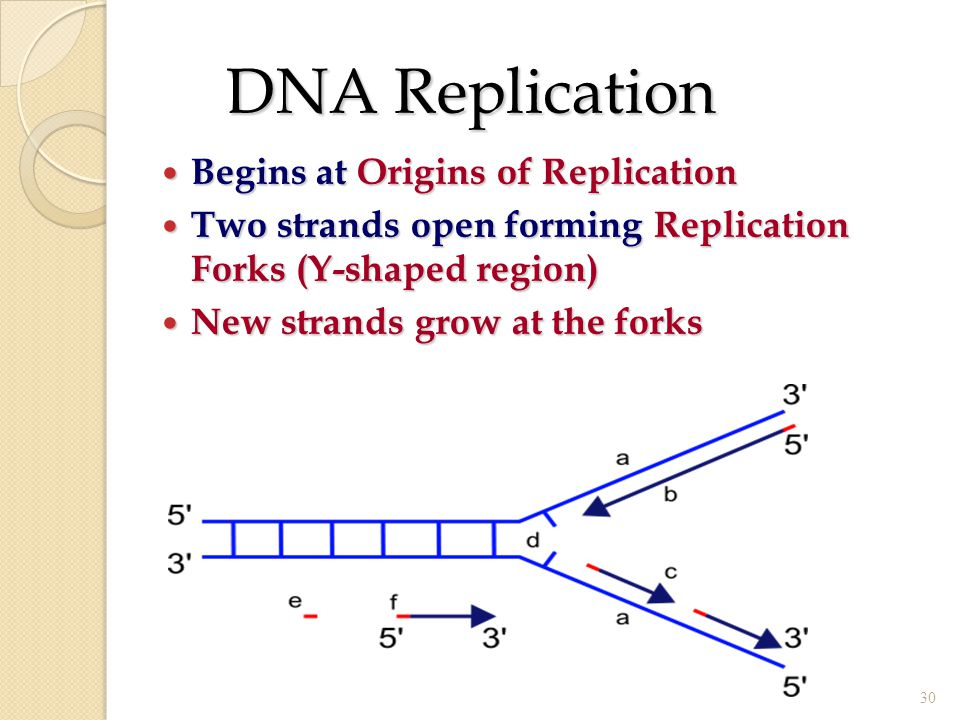 DNA Replication Begins at Origins of Replication Begins at Origins of Replication Two strands open forming Replication Forks (Y-shaped region) Two str