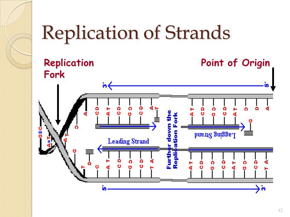 Replication of Strands 42 Replication Fork Point of Origin