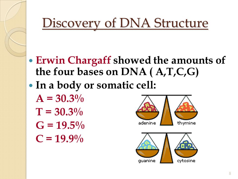 Discovery of DNA Structure Erwin Chargaff showed the amounts of the four bases on DNA ( A,T,C,G) In a body or somatic cell: A = 30.3% T = 30.3% G = 19
