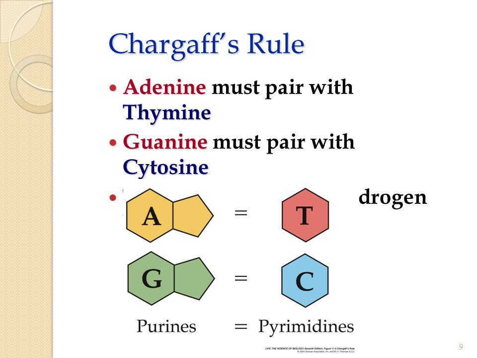 Chargaff's Rule Adenine Thymine Adenine must pair with Thymine Guanine Cytosine Guanine must pair with Cytosine The bases form weak hydrogen bonds 9