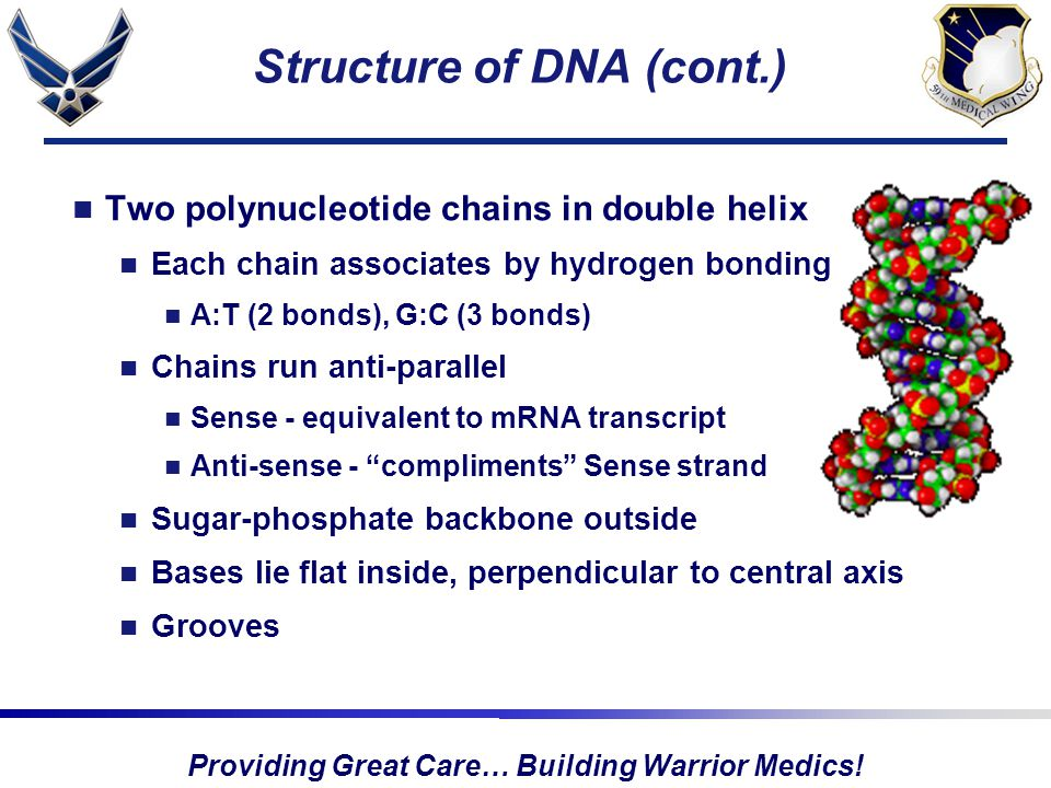 Providing Great Care… Building Warrior Medics! Structure of DNA (cont.) Two polynucleotide chains in double helix Each chain associates by hydrogen bo